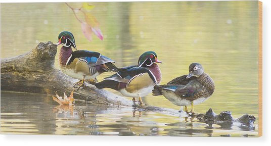 Wood-ducks Panorama Wood Print