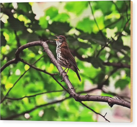 Wood Thrush Singing Wood Print