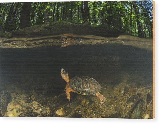 Wood Turtle Swimming North America Wood Print
