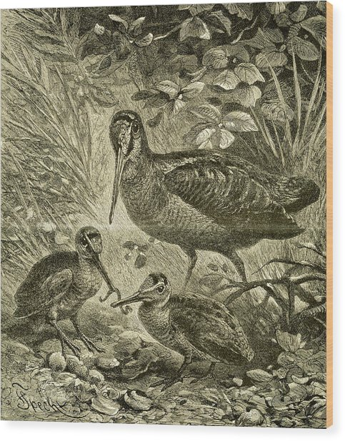 Woodcock Austria 1891 Wood Print
