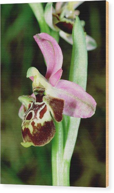 Woodcock Ophrys Flower Wood Print
