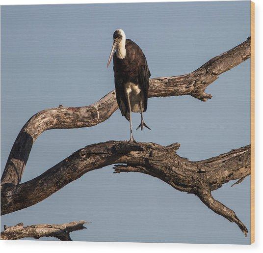 Woolly Necked Stork Wood Print by Craig Brown