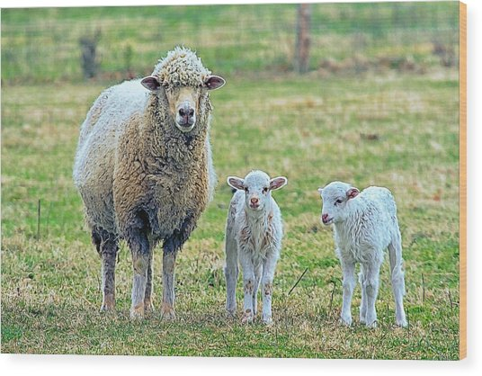 Wooly Babies   Wood Print by Constantine Gregory