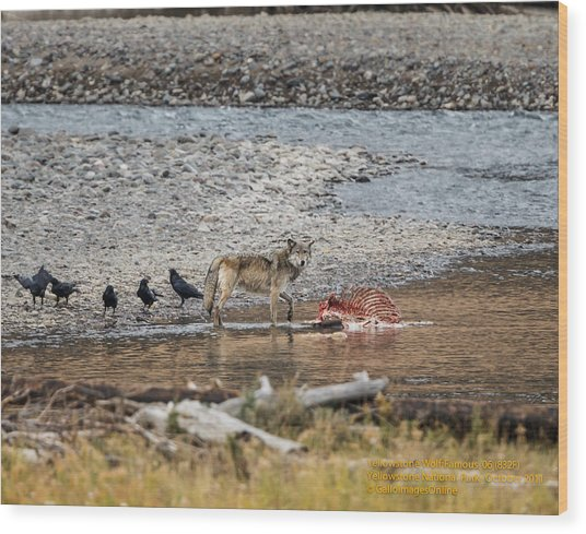 World Famous Yellowstone Gray Wolf 06' Wood Print
