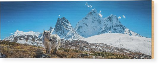 Yak Calf Grazing In High Altitude Wood Print by Fotovoyager