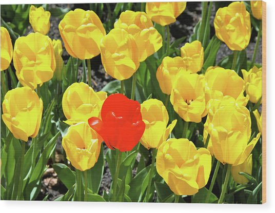 Yellow And One Red Tulip Wood Print