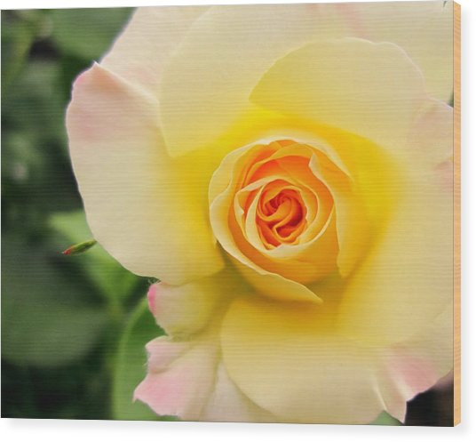 Yellow And Pink Beauty  Wood Print