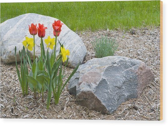 Yellow And Red Tulips With Two Rocks Wood Print