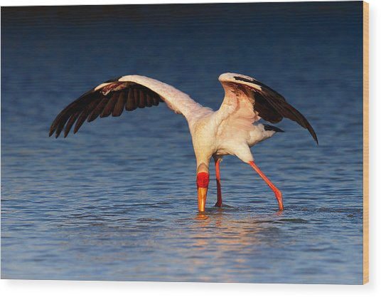Yellow-billed Stork Hunting For Food Wood Print