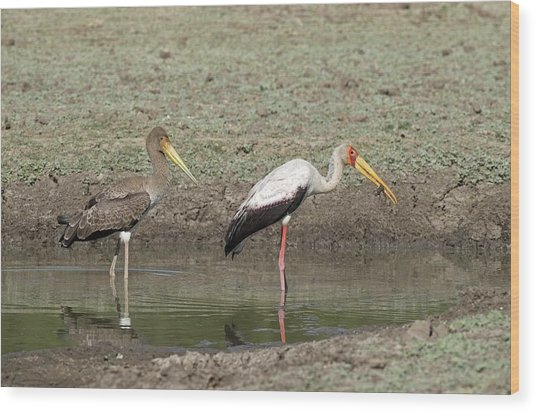 Yellow-billed Stork Juvenile With Adult Wood Print