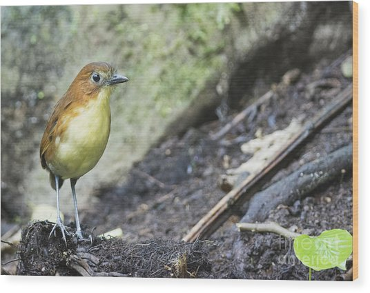 Yellow-breasted Antpitta Wood Print