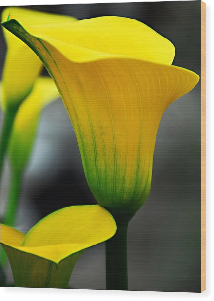 Yellow Calla Lily Wood Print