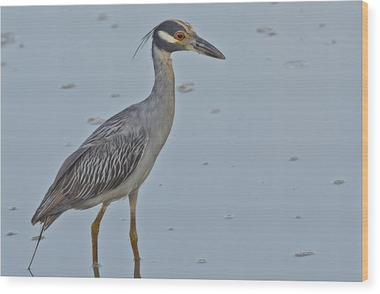 Yellow-crowned Night-heron - 2866 Wood Print