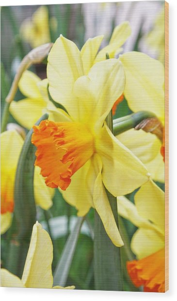 Yellow Daffodils  Wood Print by Cathie Tyler