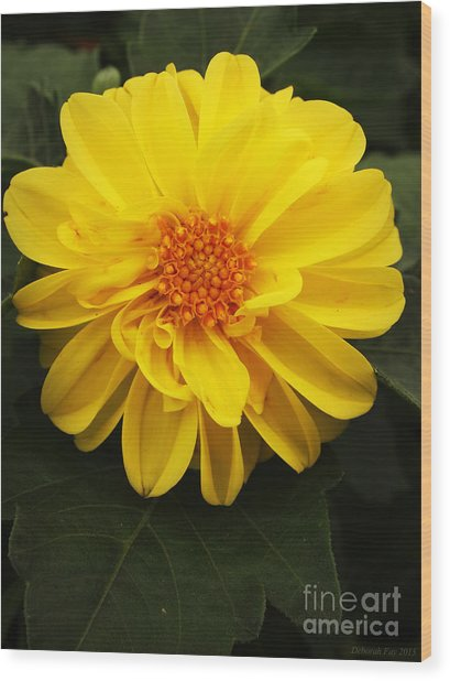 Yellow Dahlias Wood Print