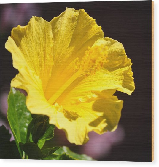 Yellow Hibiscus Open To The Sun Wood Print