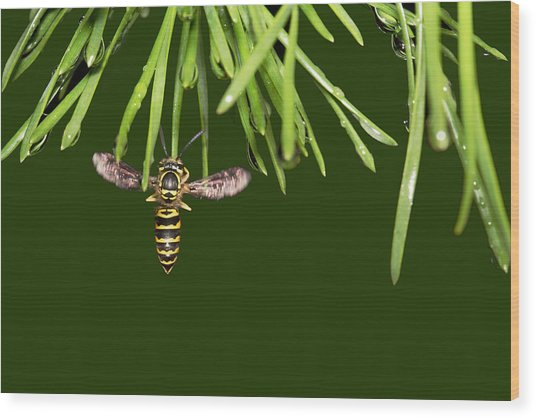 Wood Print featuring the photograph Yellow Jacket At Pine Needles With Raindrops by Daniel Reed