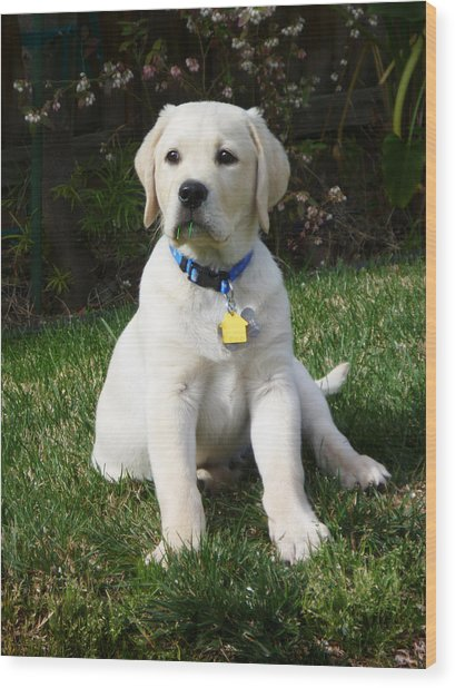 Yellow Lab Puppy Standing Guard  Wood Print