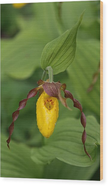 Yellow lady slipper photograph by juergen roth yellow lady slipper wood print by juergen roth mightylinksfo