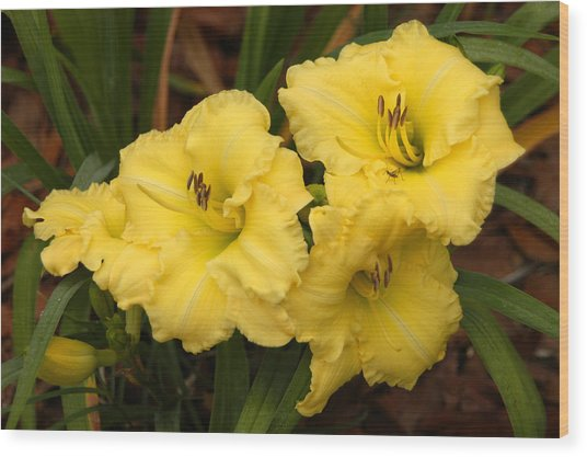 Yellow Lillies Wood Print