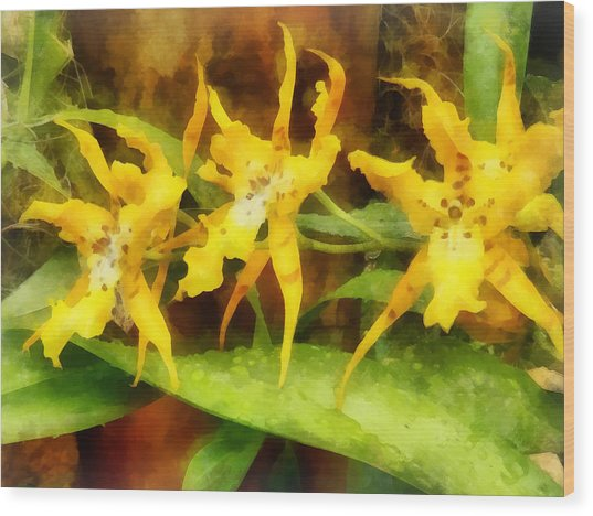 Yellow Miltassia Orchids Wood Print by Susan Savad