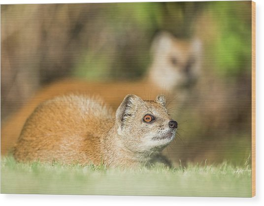 Yellow Mongoose Wood Print by Peter Chadwick/science Photo Library