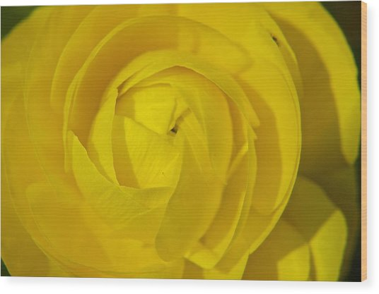 Yellow Peony Wood Print by Sharin Gabl