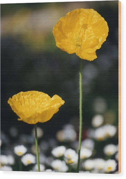 Yellow Poppies Wood Print