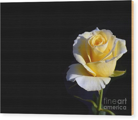 Yellow Rose On Black Wood Print