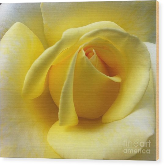 Yellow Rose Softness Wood Print