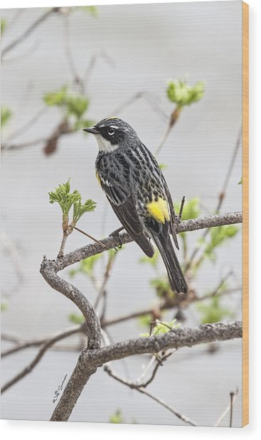 Yellow-rumped Warbler Wood Print by Jeff Swanson
