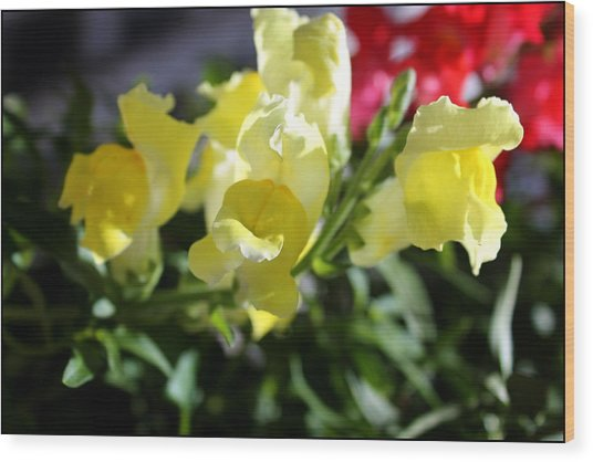 Yellow Snapdragons II Wood Print by Aya Murrells