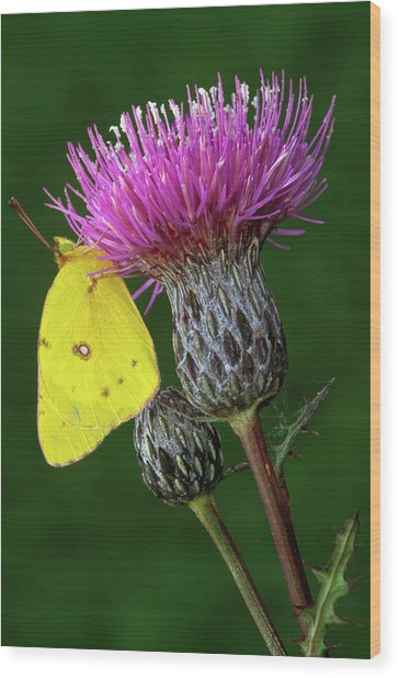 Yellow Sulfur Butterfly On Thistle Wood Print