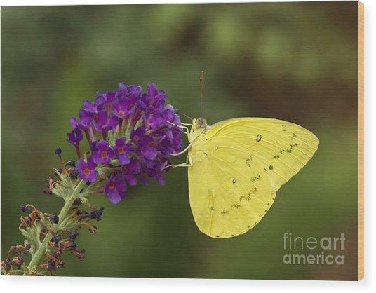 Yellow Sulfur On Butterfly Bush Wood Print