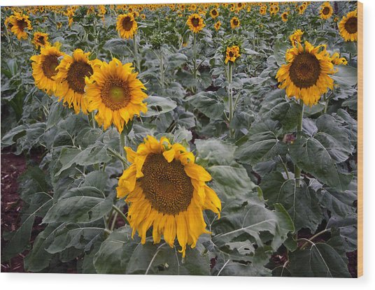 Yellow Sunflower Fields Wood Print