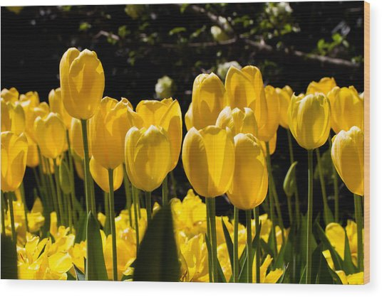 Yellow Tulip Attention Wood Print