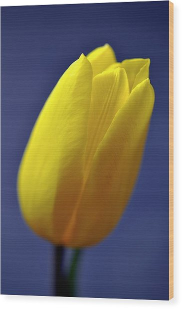Yellow Tulip On Blue Background Wood Print