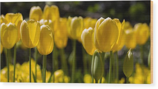 Yellow Tulips On Parade Wood Print