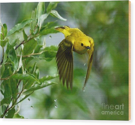 Yellow Warbler Takes Flight Wood Print