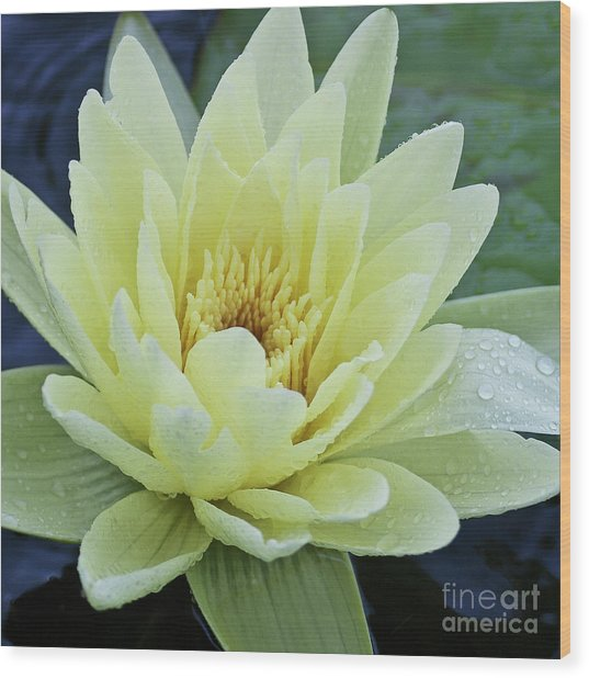 Yellow Water Lily Nymphaea Wood Print