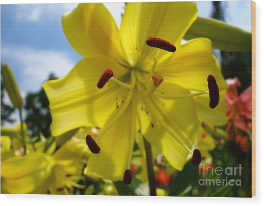 Yellow Whopper Lily 2 Wood Print
