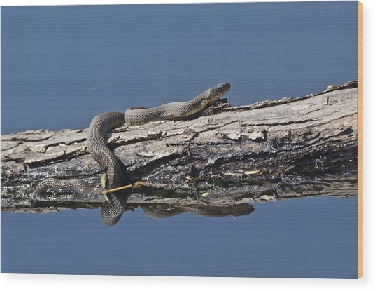 Yellowbelly Water Snake - 8494 Wood Print