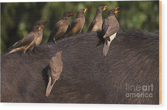 Yellowbilled Oxpeckers On Buffalo Wood Print