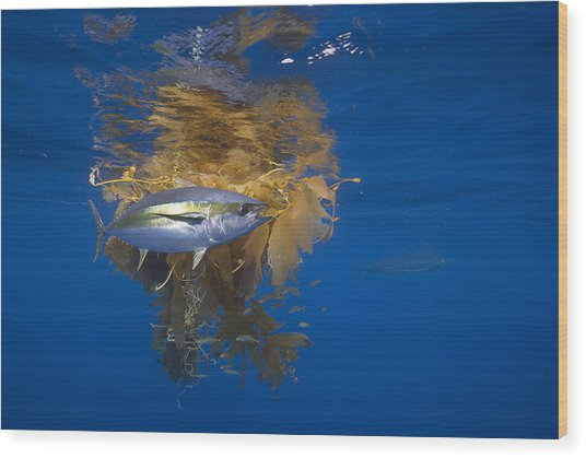Yellowfin Tuna And Kelp Nine-mile Bank Wood Print