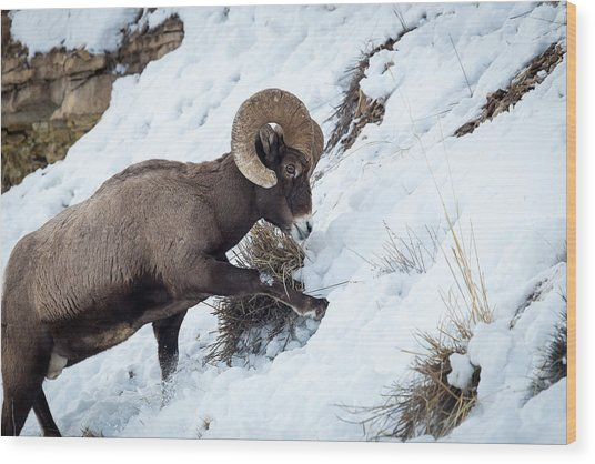 Yellowstone Bighorn Wood Print