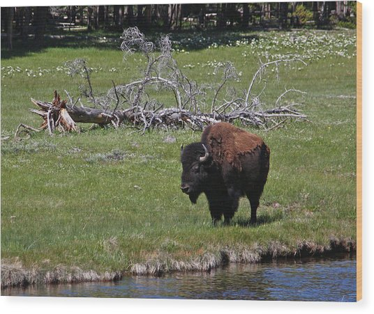 Yellowstone Bison By Nez Perce Creek Wood Print