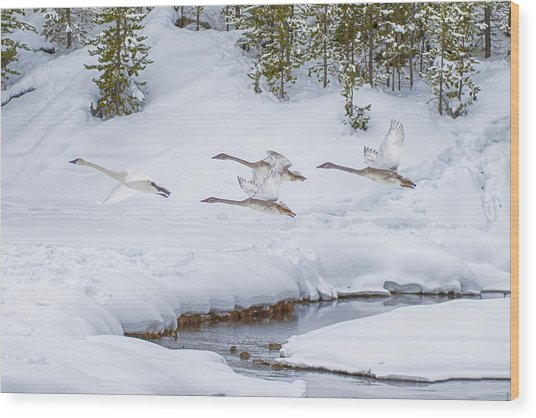 Yellowstone Geese Fly By Wood Print by David Yack