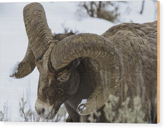 Yellowstone Ram Wood Print by David Yack