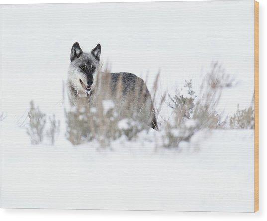 Yellowstone Wolf Wood Print