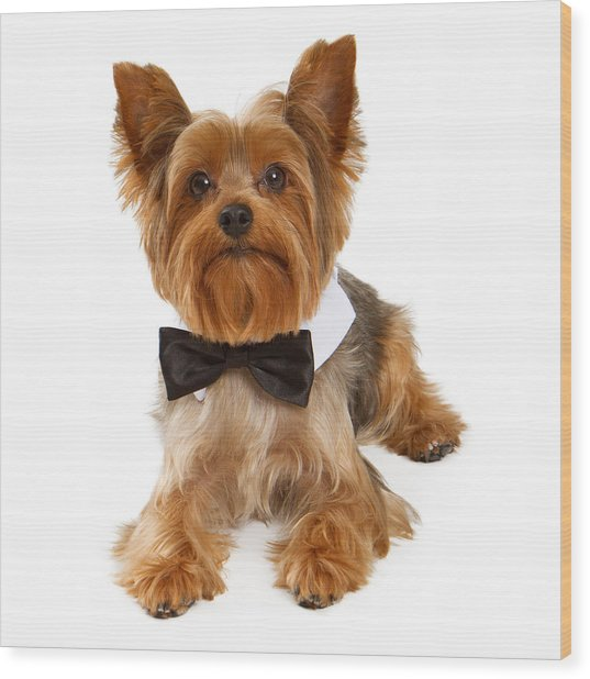 Yorkshire Terrier Dog With Black Tie Wood Print